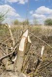 Eurasian beaver (European beaver, Castor fiber) feeding. Royalty Free Stock Images