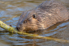 Eurasian beaver nibbling on a branch. Eurasian beaver (Castor fiber) is one of the largest rodents in the world. It is well adapted to fulfil its role as a vital Royalty Free Stock Image