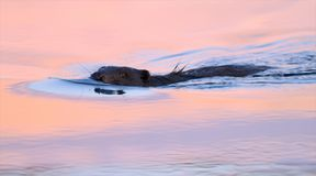 Eurasian beaver swims in the colorful sunset evening time stock photos