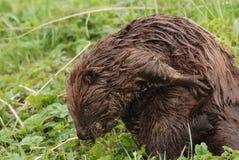 Eurasian beaver Royalty Free Stock Photography