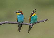 Eurasian Bee-eater Royalty Free Stock Photography