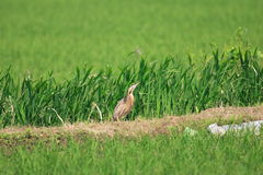 Eurasian Bittern Stock Photography