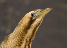 Eurasian Bittern or Great Bittern (Botaurus stellaris) Royalty Free Stock Images