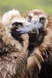 Eurasian black vulture Stock Photo