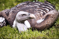 Vulture Royalty Free Stock Image