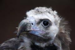 Eurasian black vulture Aegypius monachus Royalty Free Stock Image