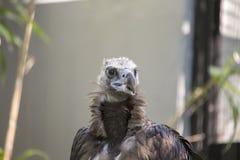 Eurasian Black Vulture Aegypius monachus Stock Images