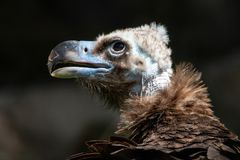 Close-up portrait of Cinereous vulture with blurred dark background stock photo