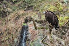 Eurasian black vulture Stock Image