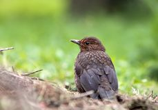 Eurasian Blackbird Royalty Free Stock Photography
