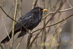 Eurasian Blackbird Royalty Free Stock Image