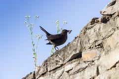 Eurasian blackbird Royalty Free Stock Photo