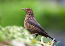 Eurasian Blackbird - female Royalty Free Stock Photo