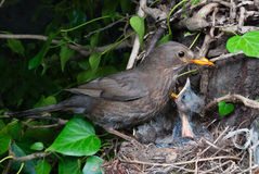 Eurasian blackbird female at nest feeding chicks Stock Image