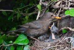 Eurasian blackbird female at nest feeding chicks. Common blackbird (Turdus merula) female at nest feeding chicks Stock Image