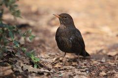 Eurasian blackbird Stock Photo
