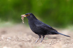 Eurasian Blackbird - female Turdus merula Royalty Free Stock Photo