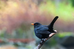 Eurasian Blackbird Stock Photos
