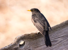 Eurasian Blackbird sitting on a wooden fence Royalty Free Stock Images