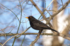 Eurasian Blackbird, Turdus merula Stock Photos