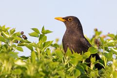 Eurasian Blackbird - Turdus merula Royalty Free Stock Photography