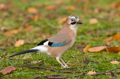 Eurasian blue-jay Royalty Free Stock Photos