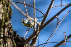 Eurasian blue tit bird Cyanistes caeruleus on oak tree trunk