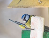 Eurasian blue tit at bird feeding in wintertime eating fat Royalty Free Stock Photography