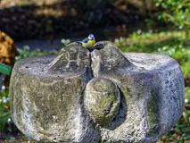 Eurasian Blue tit bird on stone fountain Stock Images