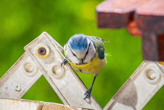 Eurasian blue tit bird window sill table fence searching food Stock Images