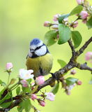 Eurasian blue tit. On a branch Stock Photo