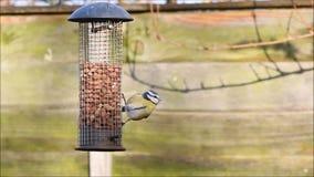 Eurasian Blue tit(Cyanistes caeruleus) on a bird feeder. stock video