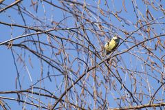 Eurasian blue tit Cyanistes caeruleus on a branch in a blue sky royalty free stock photography