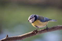 Eurasian blue tit Cyanistes caeruleus on a branch, a small pas Royalty Free Stock Image
