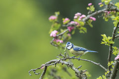 Eurasian blue tit Royalty Free Stock Image