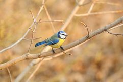 The Eurasian blue tit Cyanistes caeruleus in the rays of the rising sun. The Eurasian blue tit Cyanistes caeruleus in the rays of the rising sun sitting on the Royalty Free Stock Images