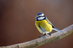The Eurasian blue tit. & x28;Cyanistes caeruleus& x29; sitting on the branch with brown background stock photography