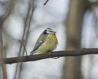 Eurasian blue tit, Cyanistes caeruleus, sitting in branches, closeup portrait, selective focus, shallow DOF Stock Images