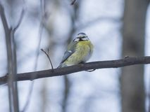 Eurasian blue tit, Cyanistes caeruleus, sitting in branches, closeup portrait, selective focus, shallow DOF Stock Image