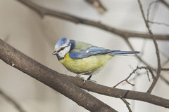 Eurasian blue tit, Cyanistes caeruleus, sitting in branches, closeup portrait, selective focus, shallow DOF Stock Images