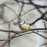 Eurasian blue tit, Cyanistes caeruleus, sitting in branches, closeup portrait, selective focus, shallow DOF Stock Photography