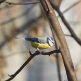 Eurasian blue tit Cyanistes caeruleus sitting in branches, closeup portrait, selective focus, shallow DOF Stock Images