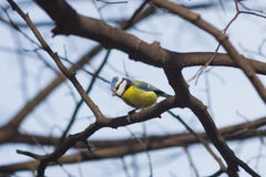 Eurasian blue tit Cyanistes caeruleus sitting in branches, closeup portrait, selective focus, shallow DOF Royalty Free Stock Images
