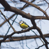 Eurasian blue tit Cyanistes caeruleus sitting in branches, closeup portrait, selective focus, shallow DOF Royalty Free Stock Photography