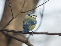 Eurasian blue tit Cyanistes caeruleus sitting in branches, closeup portrait, selective focus, shallow DOF Royalty Free Stock Photo