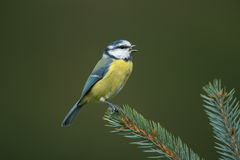 Eurasian blue tit. Sitting on a branch Royalty Free Stock Photography