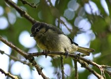 Eurasian blue tit Stock Photo