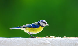 Eurasian blue tit feeding with seeds Stock Images