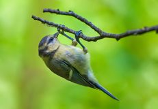 Eurasian blue tit feeds herself on spider`s eggs at the branch of tree stock photos