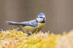 Eurasian blue tit. Looking out royalty free stock images